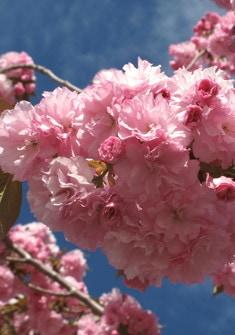 Cherry Blossom Festival 2020 Macon Ga.April 5 2020 Event Last Day Of The International Cherry